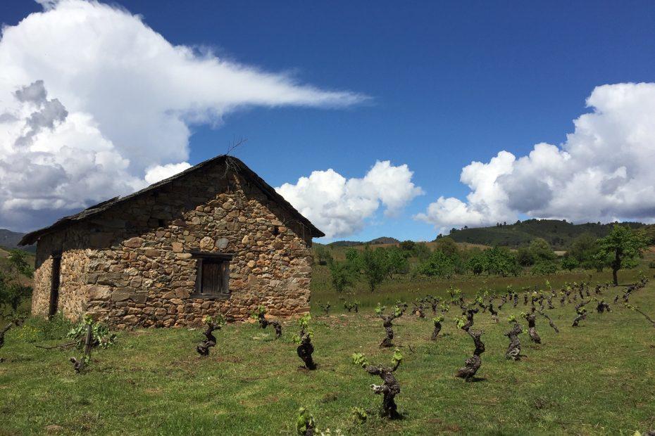 Salvar una viña centenaria